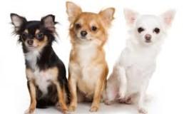 Pisa Ovest. Giornata dedicata ai Chihuahua