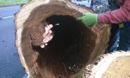 Pisa: continuano gli abbattimenti di alberi malati o pericolanti