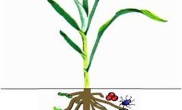 Un aiuto per aumentare la produzione di cibo a livello mondiale: scoperto il meccanismo per incrementare l'assorbimento di fosforo nelle piante