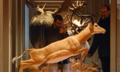 Apre la nuova Galleria dei mammiferi del Museo di Storia Naturale dell'Università di Pisa