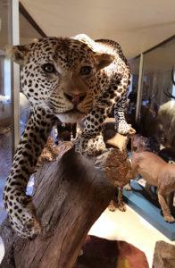 4 Leopardo - (foto Giovanni Cavasinni)