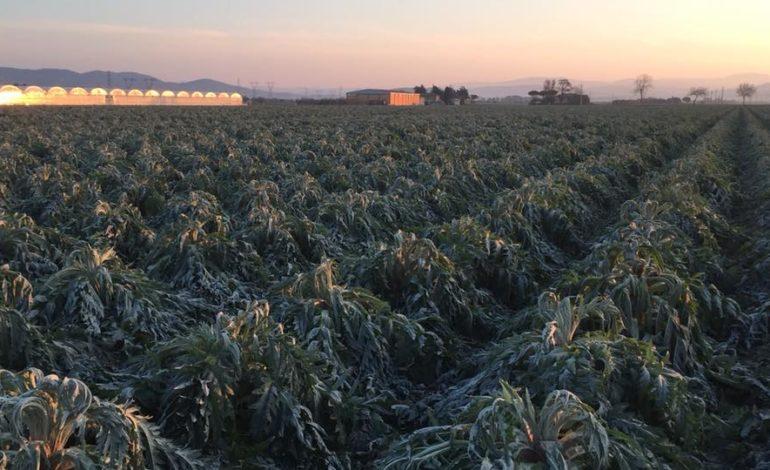 """Maltempo, il gelo brucia i raccolti, Confagricoltura Toscana: """"Agricoltori lasciati soli"""""""