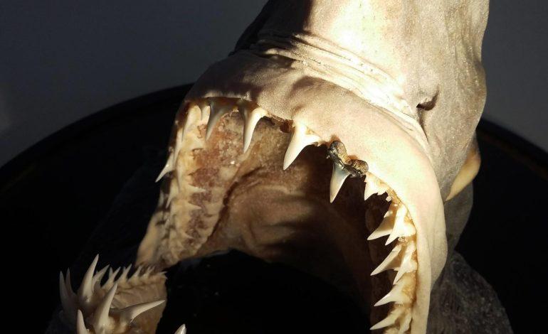 Trovati resti fossili di un raro squalo nella campagna senese