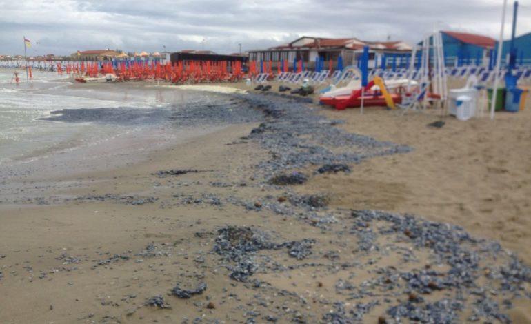 Litorale pisano, spiaggiamento di meduse 'velella vellella'
