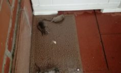 Calci, continuano gli avvistamenti di colonie di ratti
