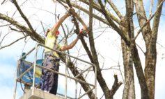 Rinnovo arboreo, lunedì parte l'intervento a Porta a Lucca in via Giovanni Pisano e in via Gamerra