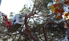 Rimozione di un pino pericolante al Giardino Scotto