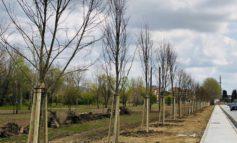 Piantumati 70 nuovi alberi in via Cisanello